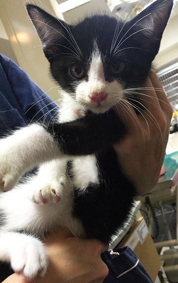 生後二ヶ月の白黒、八割れ模様が可愛いらしい男の子