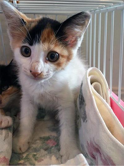 生後2ヶ月の女の子猫
